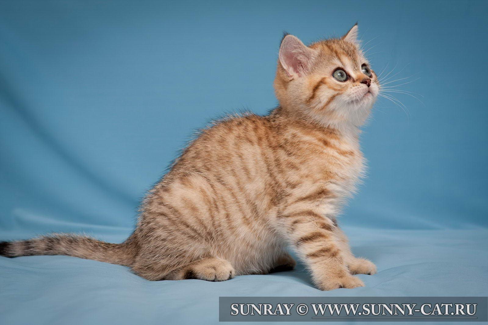пол британского котенка фото #17
