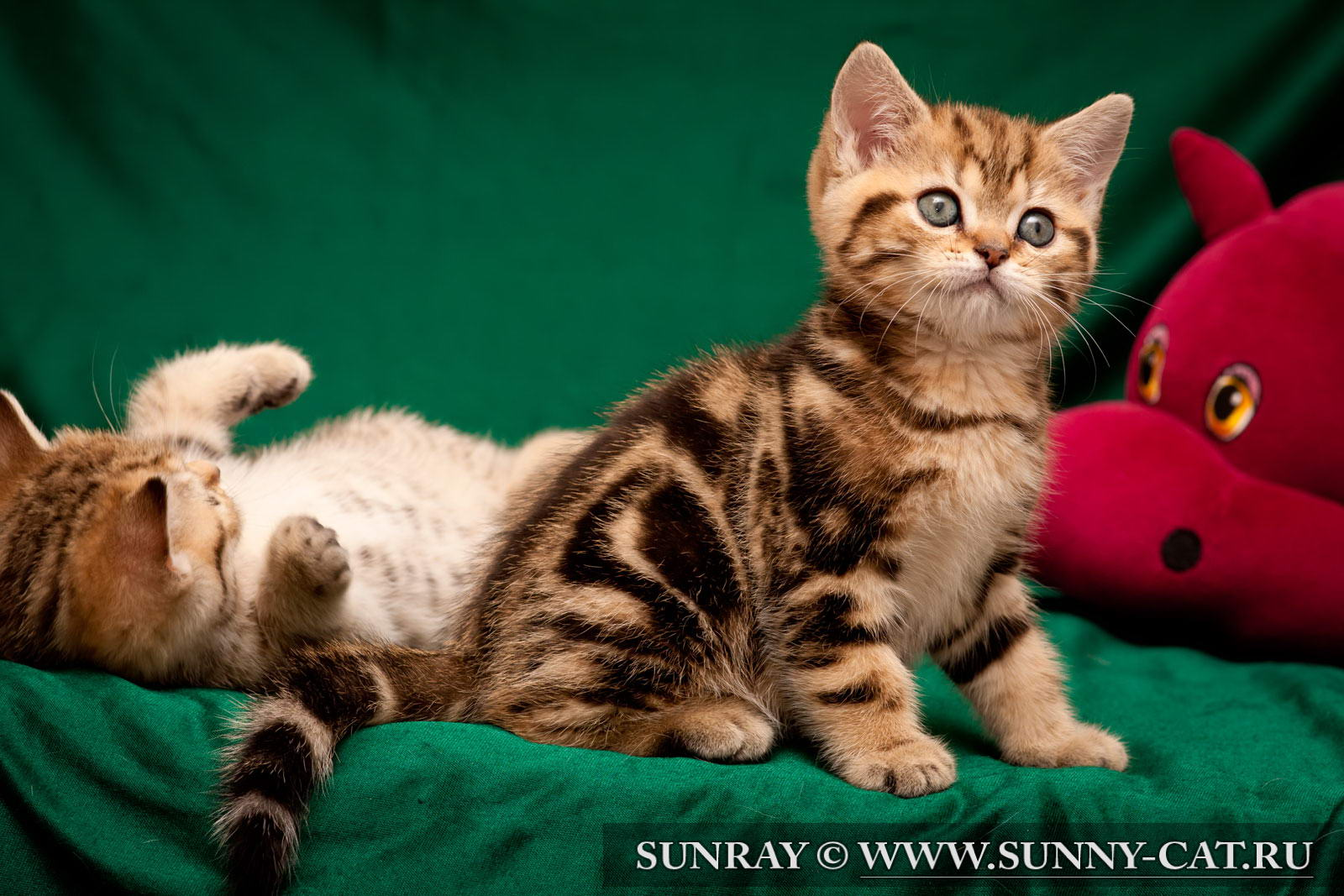 котята мраморные британцы фото