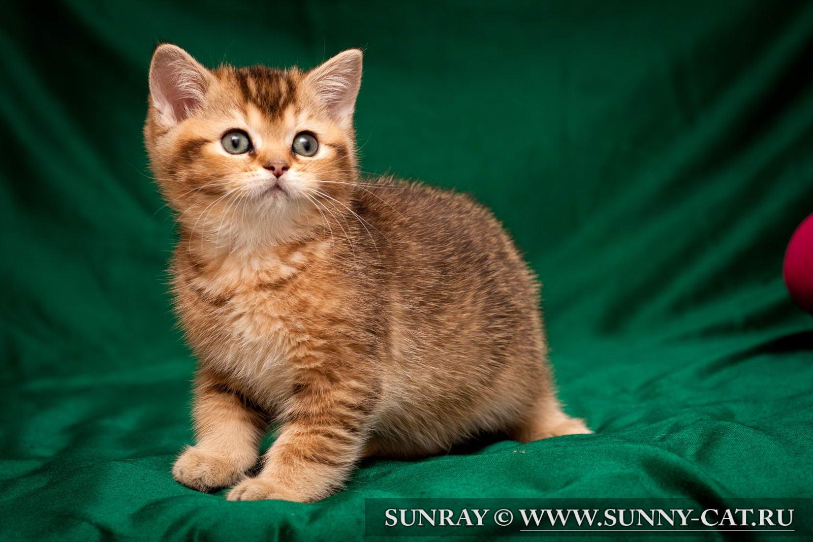 пол британского котенка фото #15
