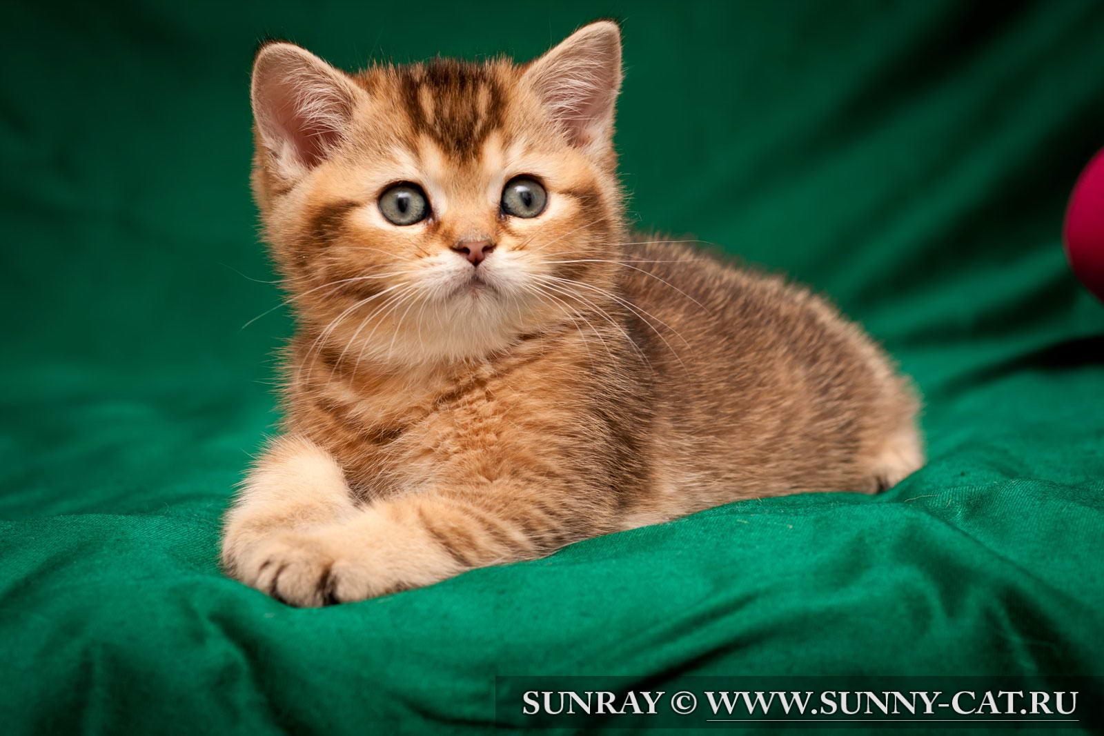 пол британского котенка фото #11