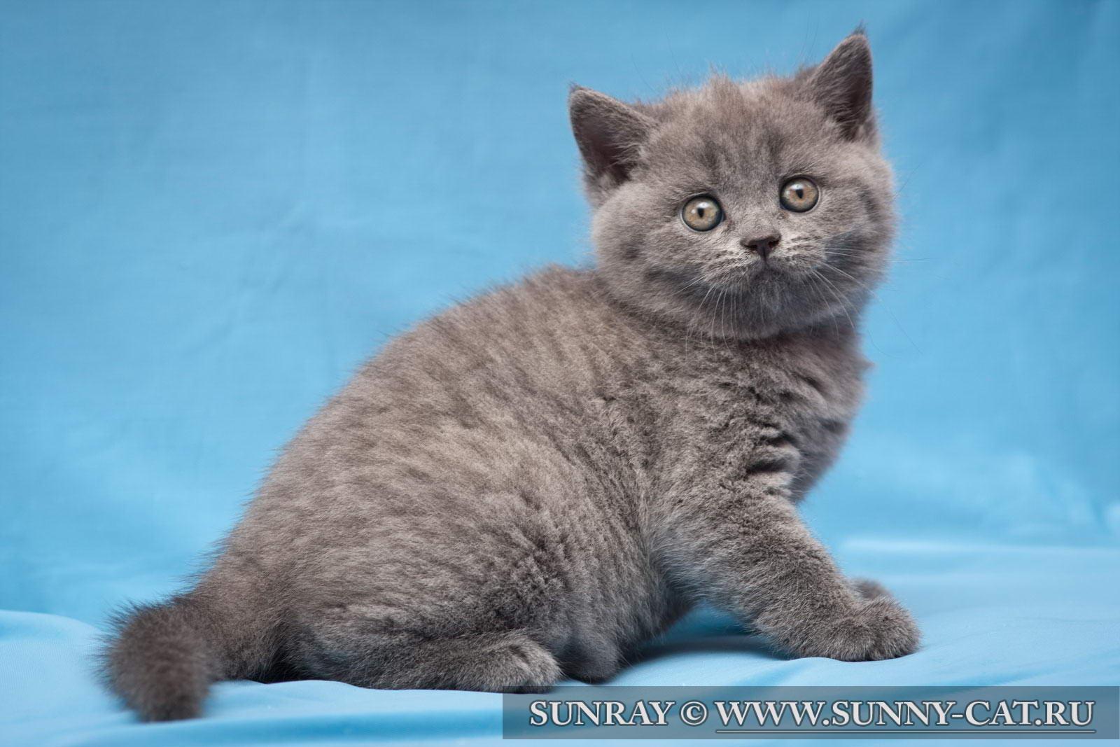 Британская порода кошек: полный обзор фото