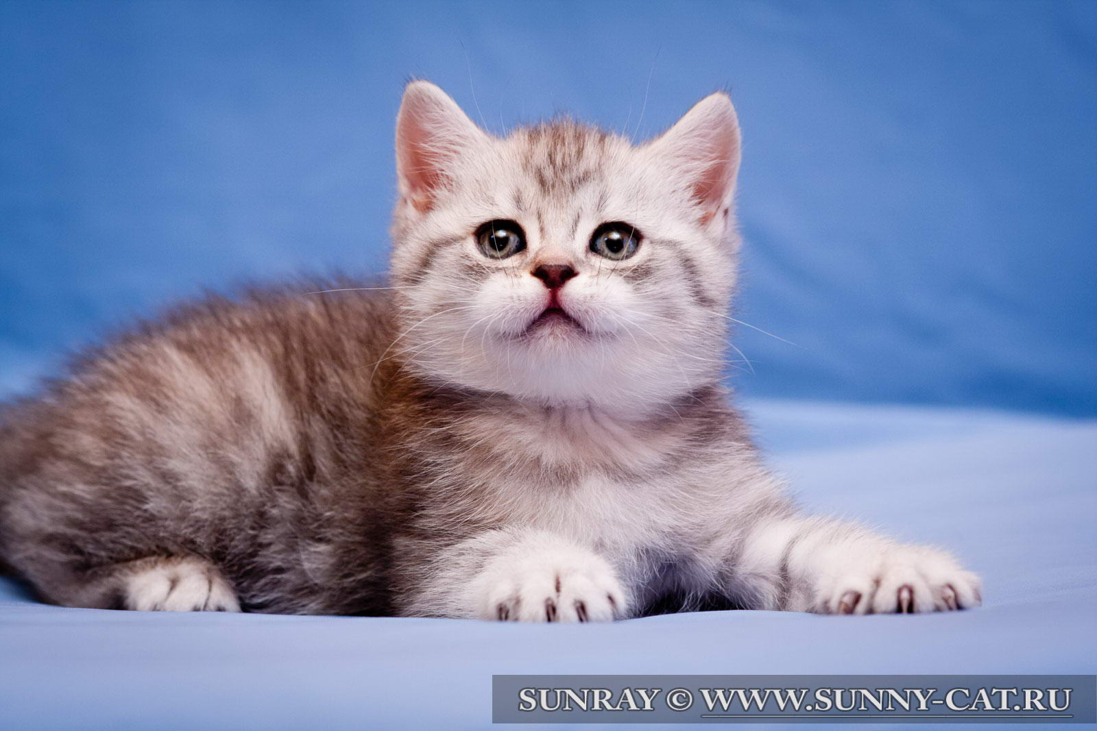 фото британских полосатых и пятнистых котят #11