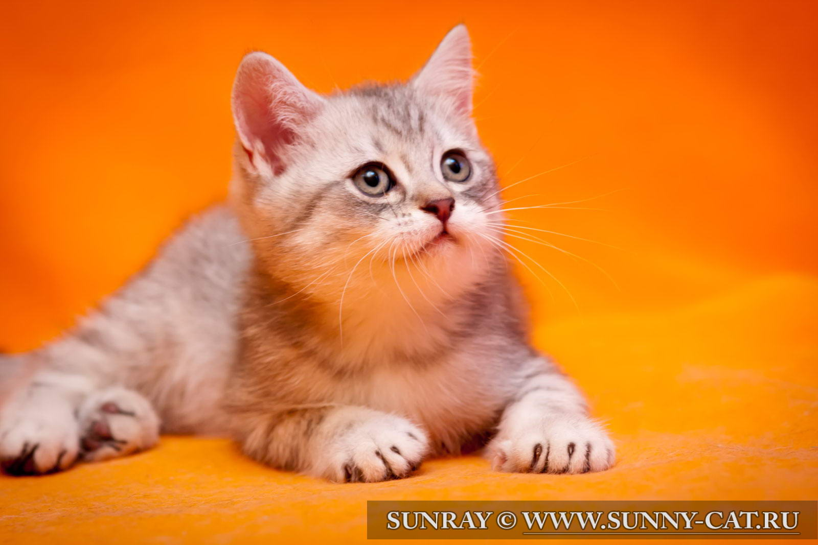 Фото котят вислоухих, кошки фото, фото котята, вислоухие ...