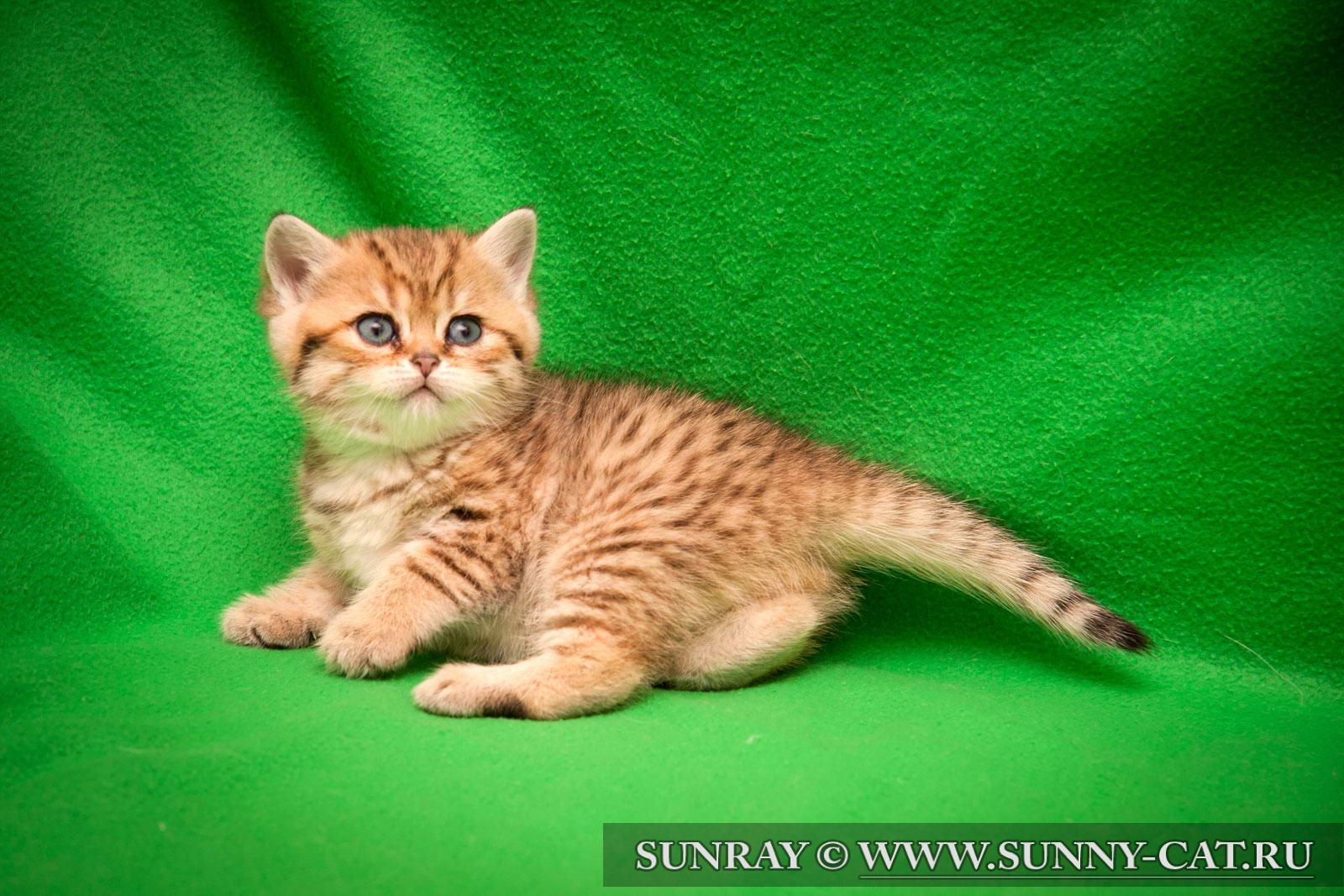 На продажу  Питомник шотландских котов ALVAVIVA