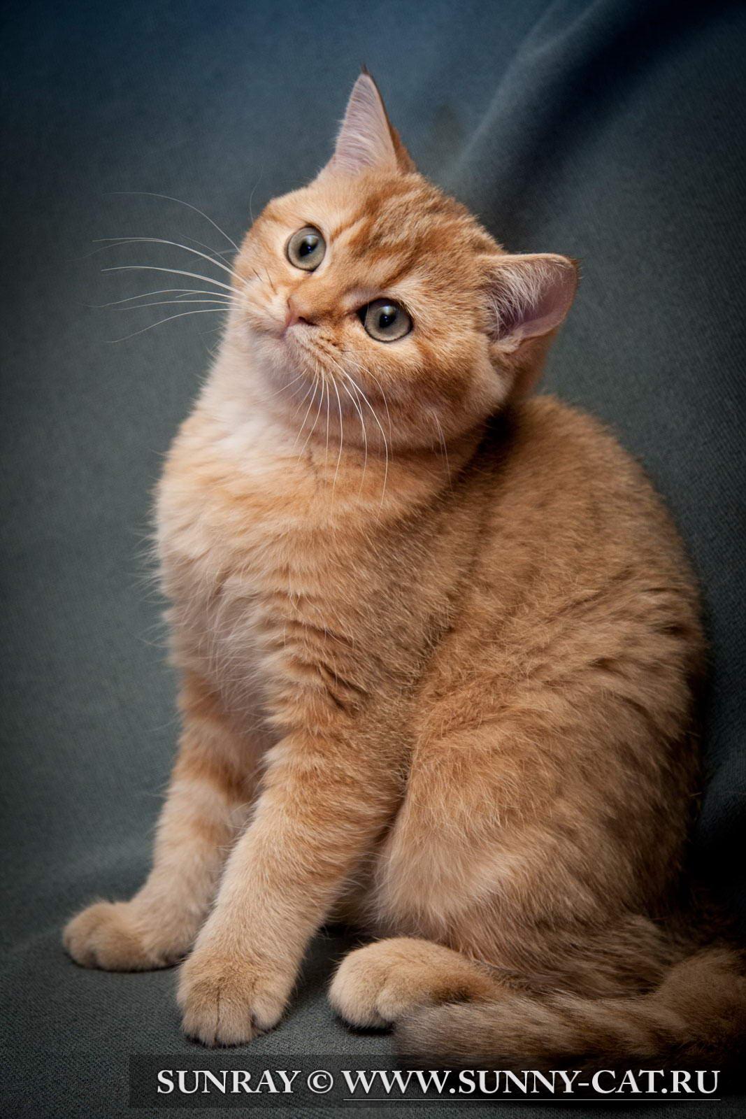 Купить котов породистых
