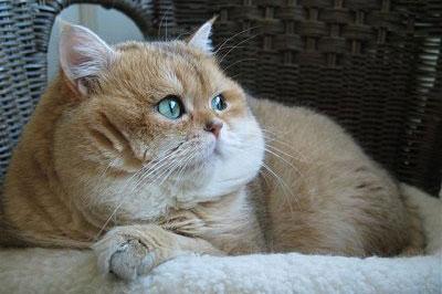 Большой короткошерстный кот