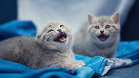 фото кошек порода вислоухая