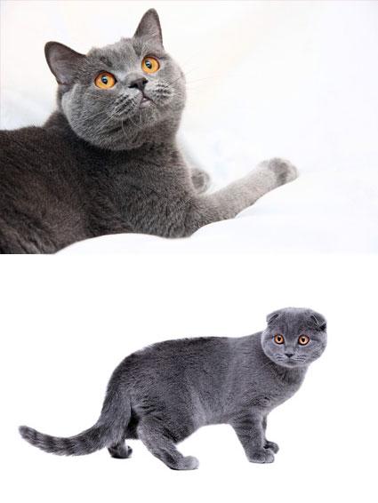Британские вислоухие котята!! Вислоухих британцев не