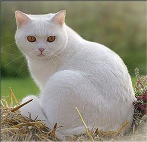 Разнообразие окрасов у шотландских и британских кошек.