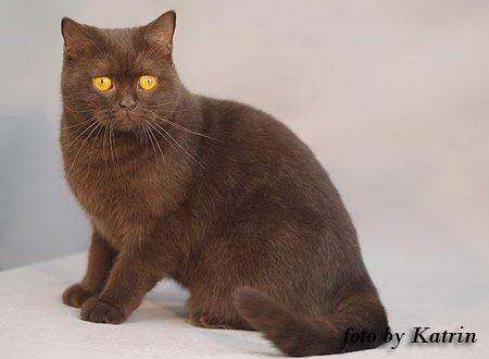 Шоколадный окрас британской кошки