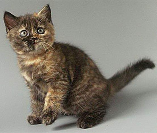 Черепаховый окрас у британских кошек проявляется постепенно.