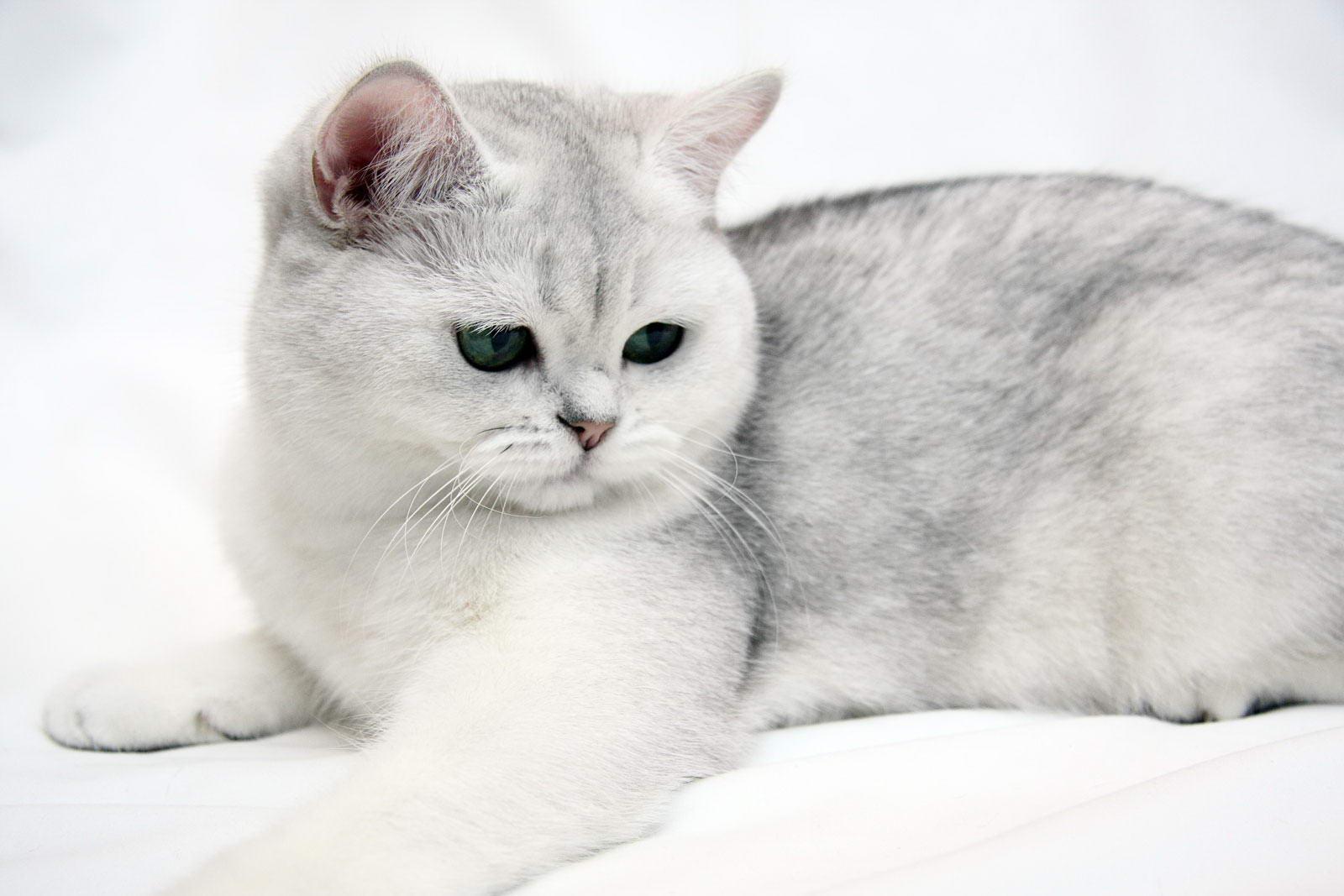 Коты британцы калининград