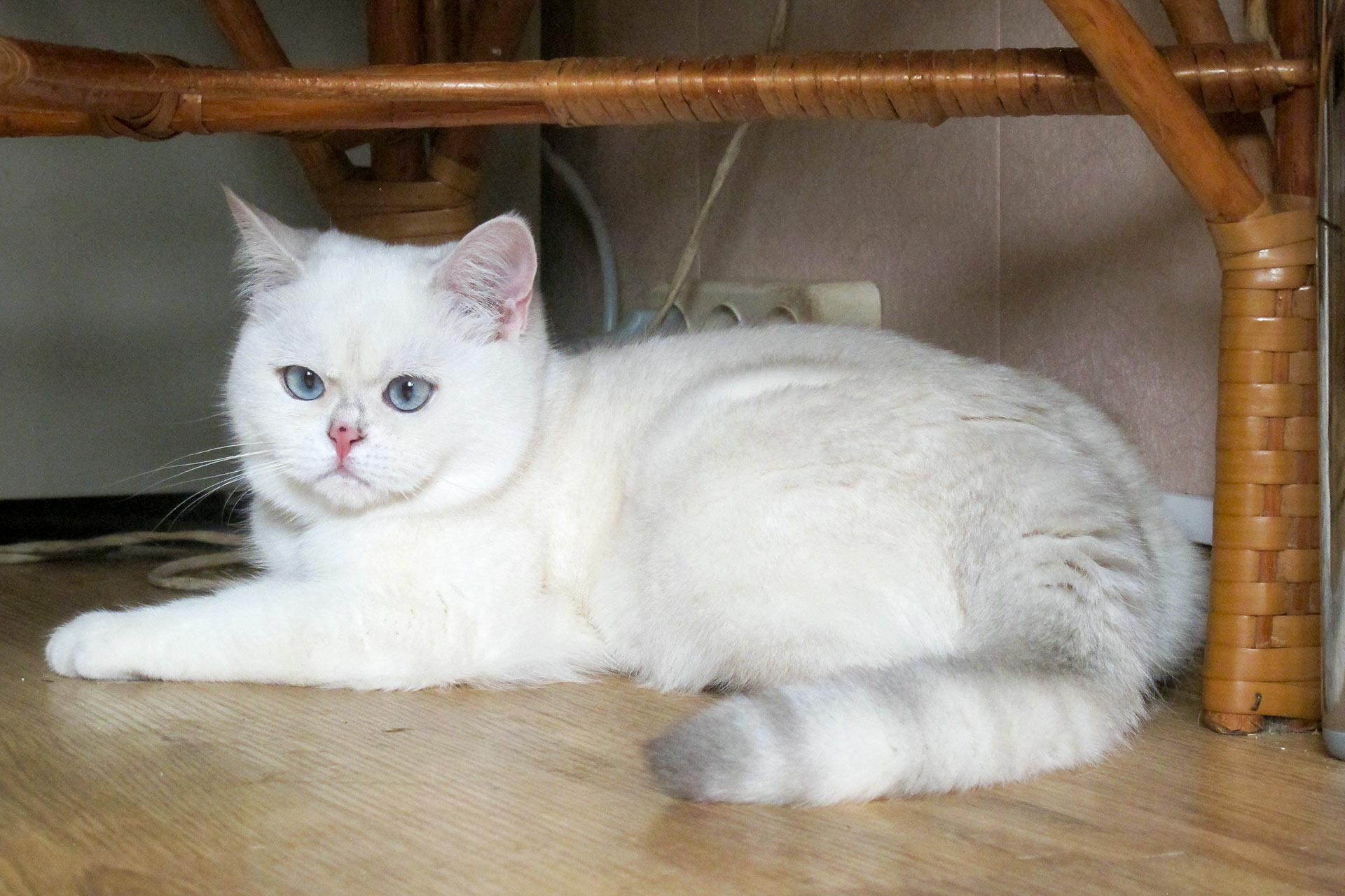 Funny names for curious lilac scottish fold SH (SFS) female cats