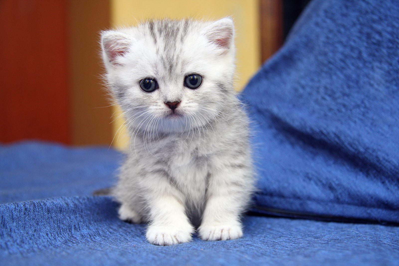 Британские котята - Фото - tricky-nick.com