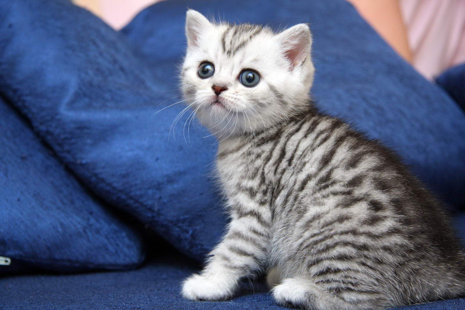 Серо-голубой британский кот