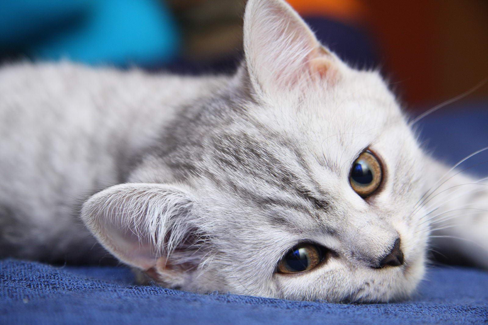 Британская кошка: фото, цена, описание породы, характер ...