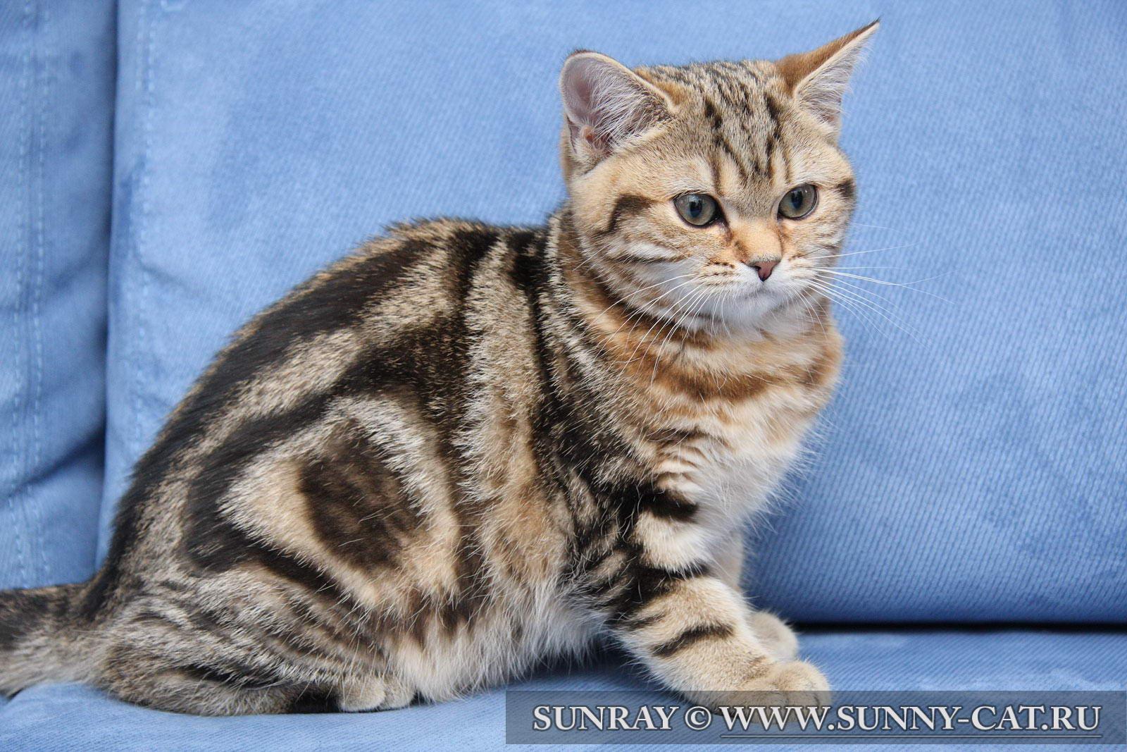 мраморный окрас кошки фото