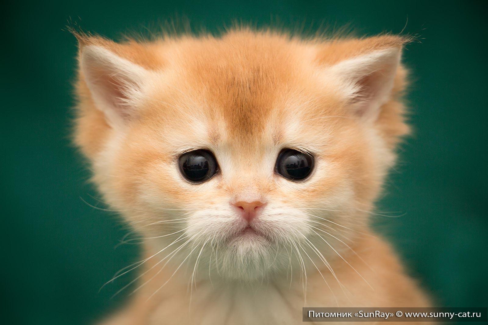 Межпородная вязка шотландской и британской пород кошек