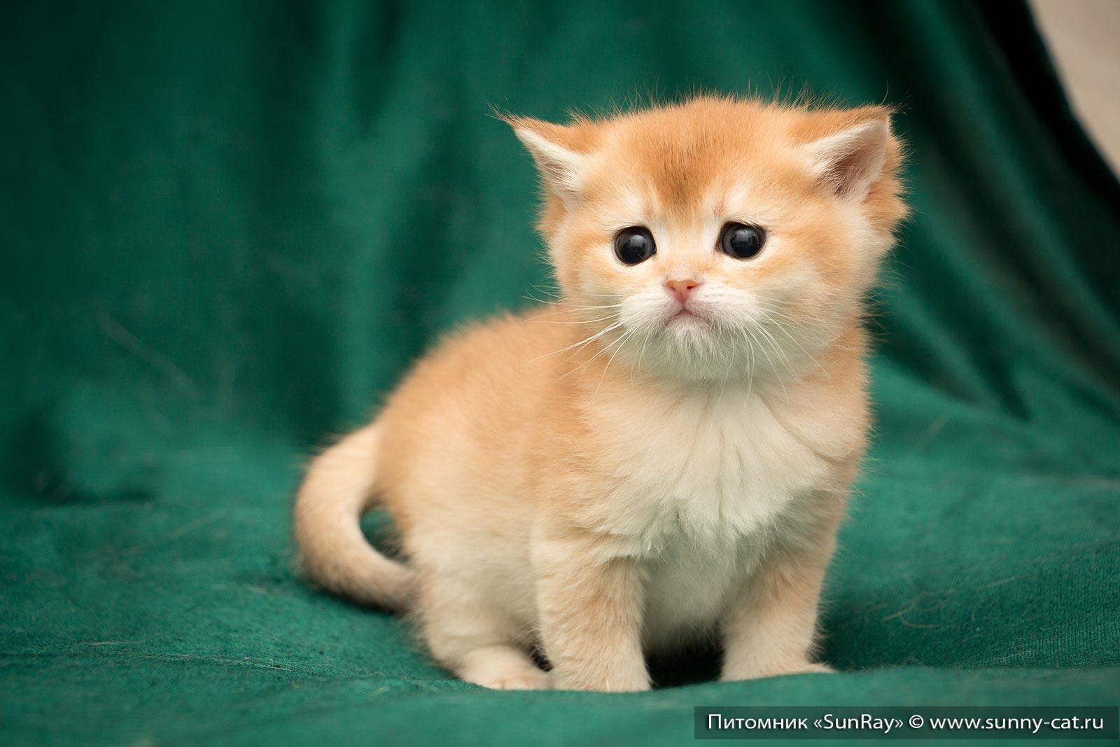 Купить Британского котенка в Москве  продажа котят из