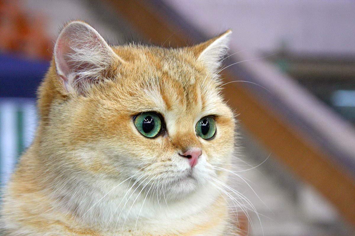 Порода котов с большими глазами как
