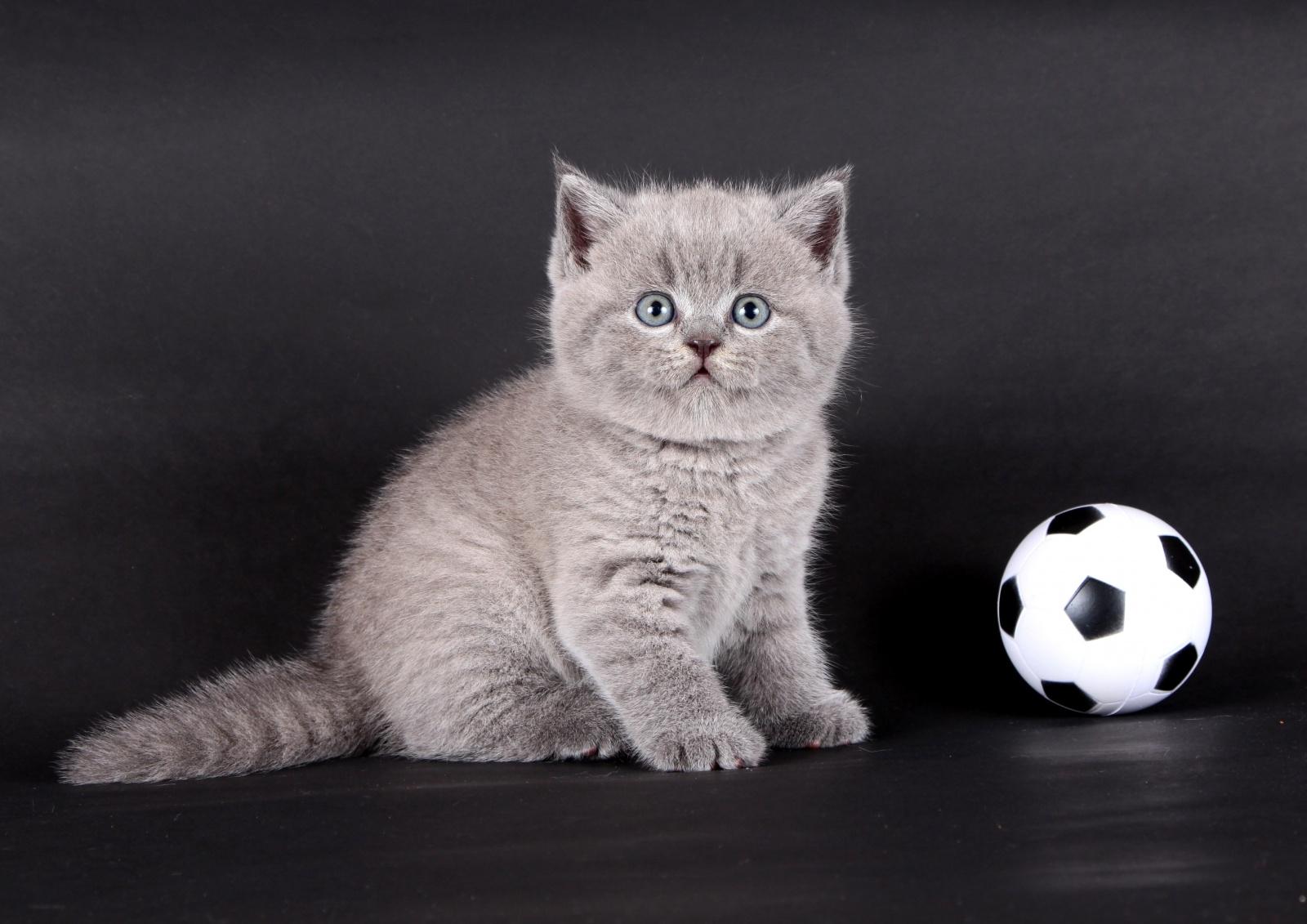 Фото шотландских котят голубого окраса