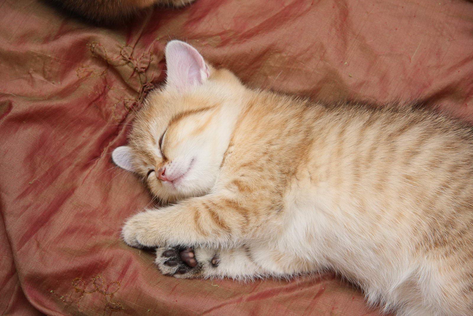 Продажа британских котят в Москве купить котенка