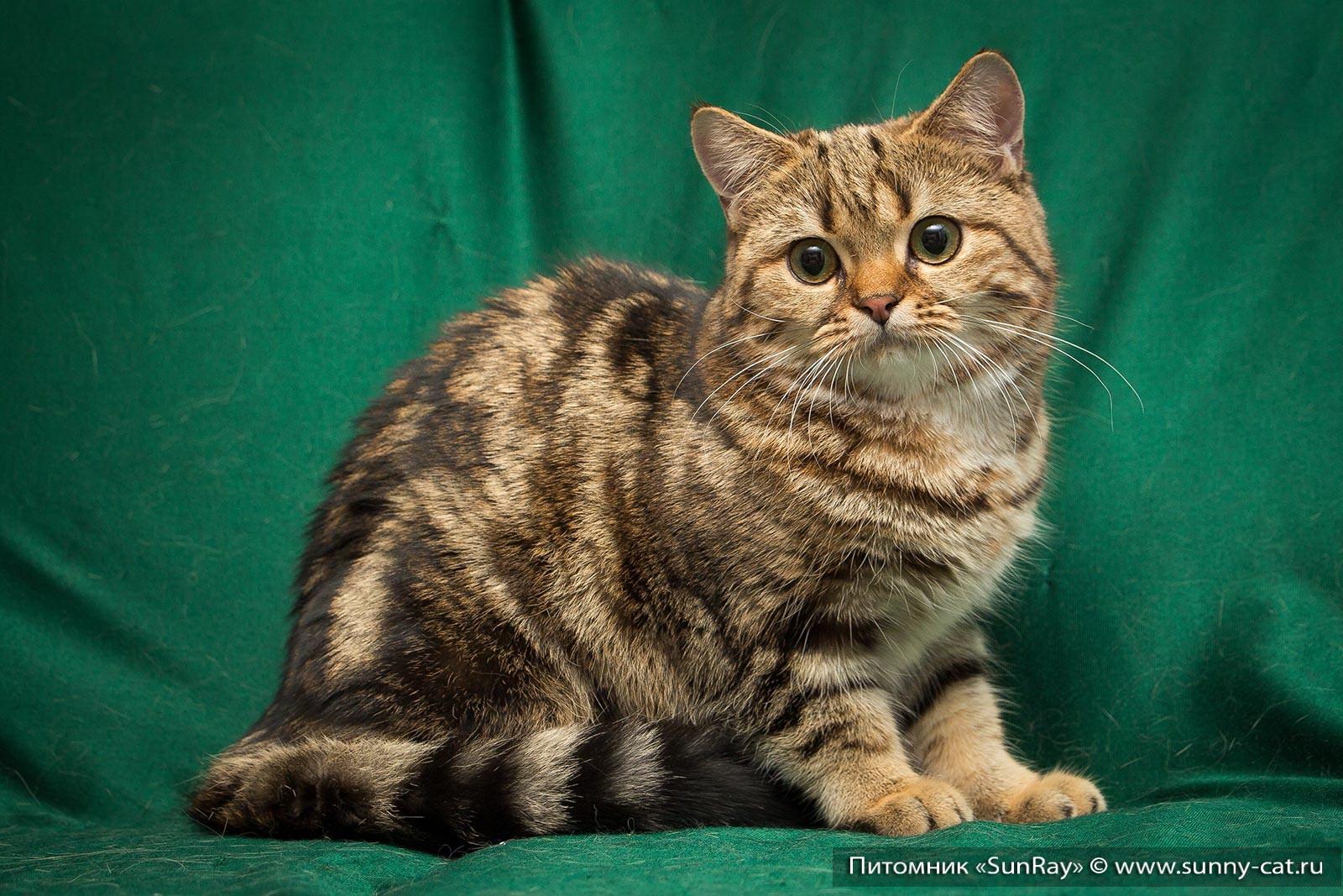 Производители питомник шотландских кошек AnyKey скоттиш