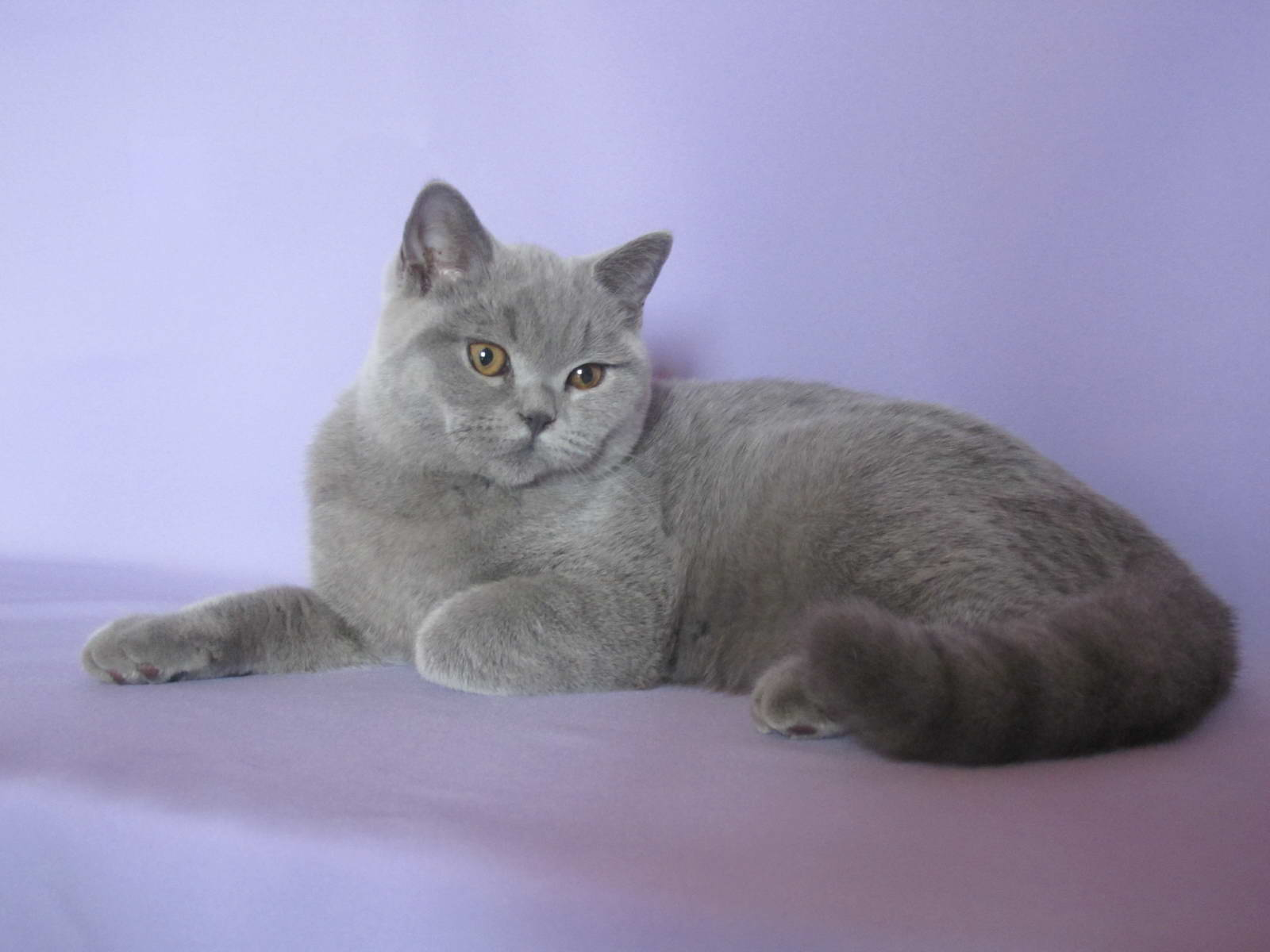 кота окраса британского фото голубого