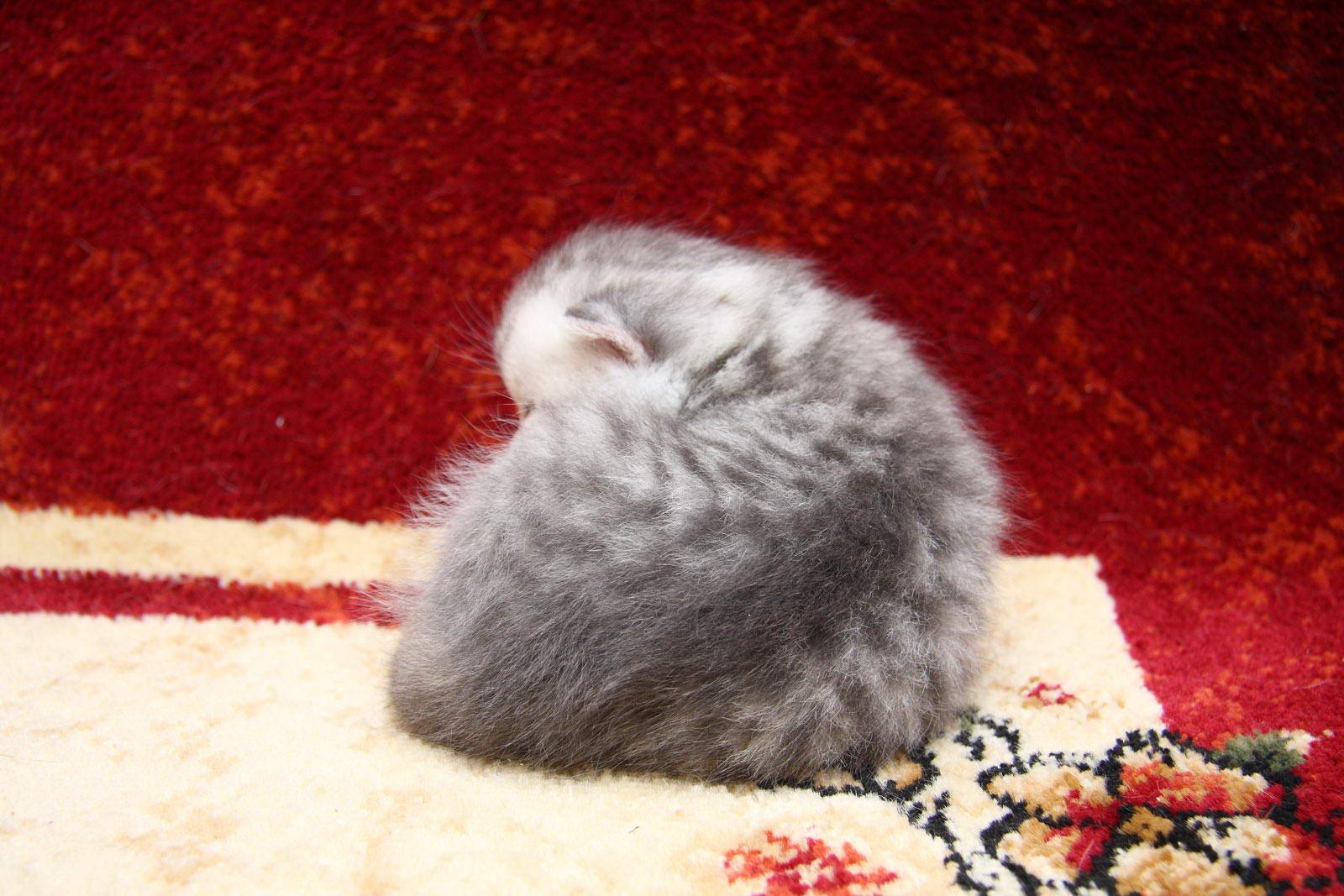фото котят голубого британца #11