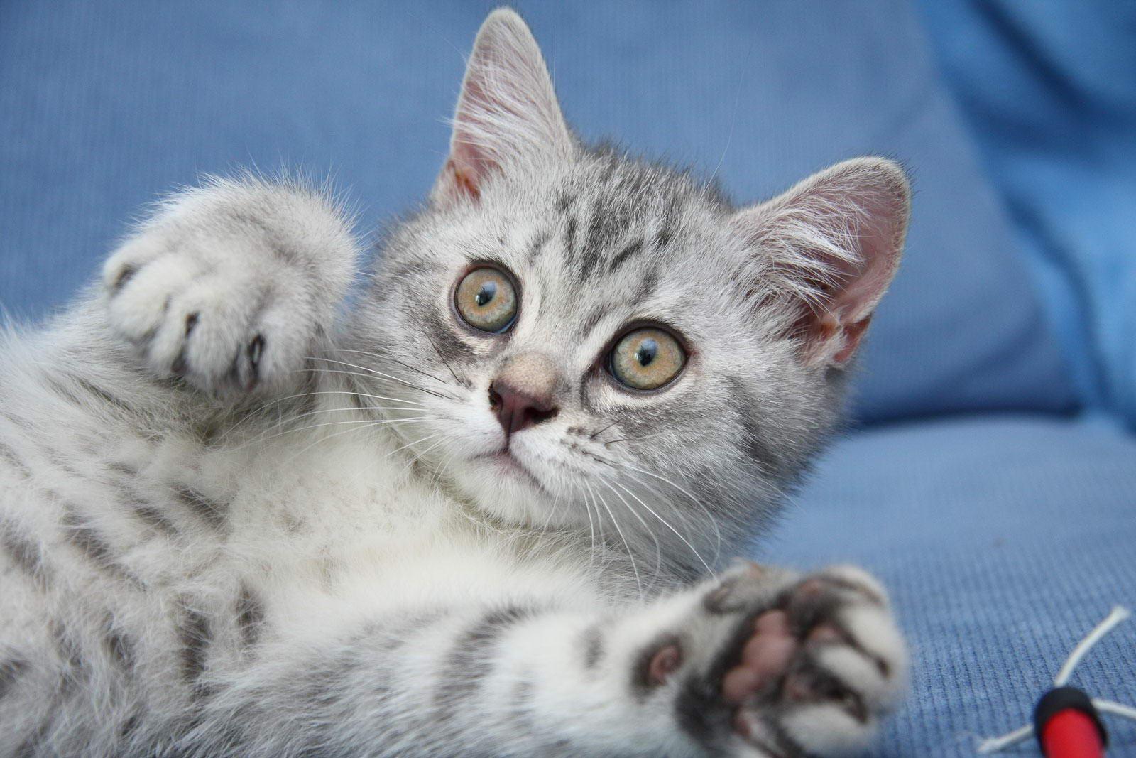 фото котят голубого британца #14