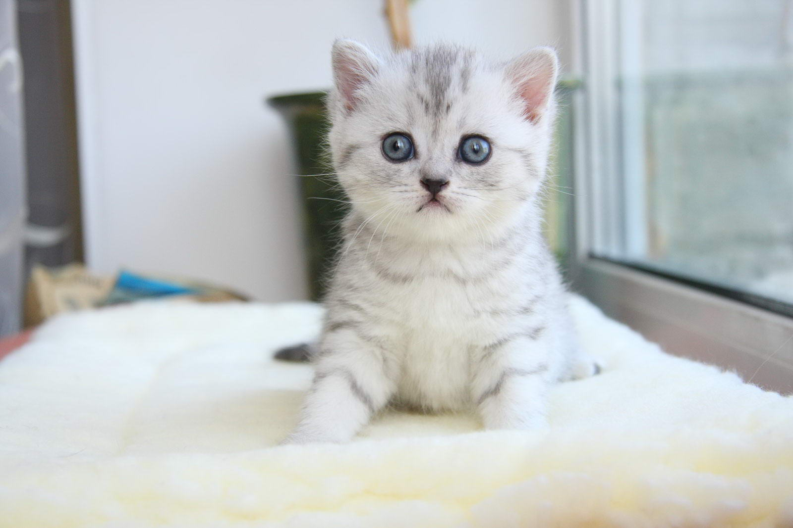 фото британских короткошёрстных котят