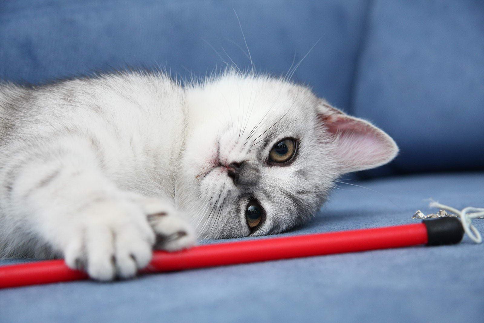 фото британских полосатых и пятнистых котят #7