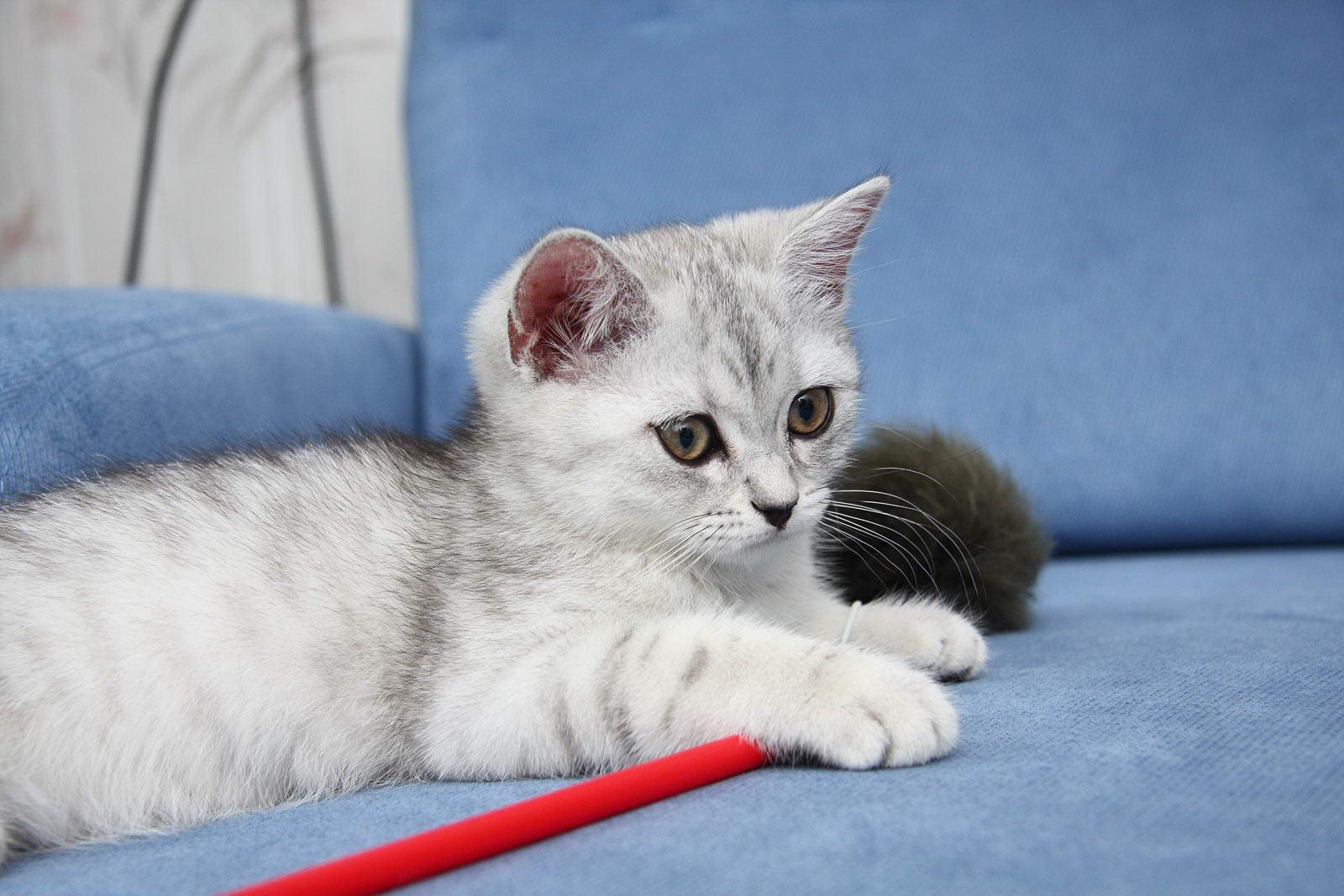фото британских полосатых и пятнистых котят #8