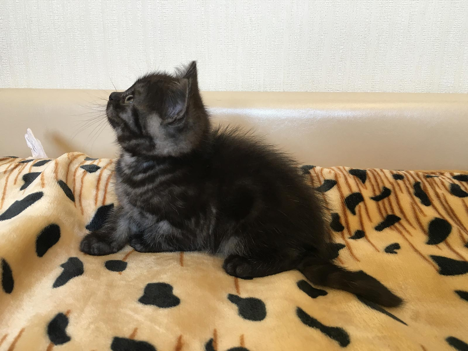 фото невских маскарадных котят 1 месяц #8