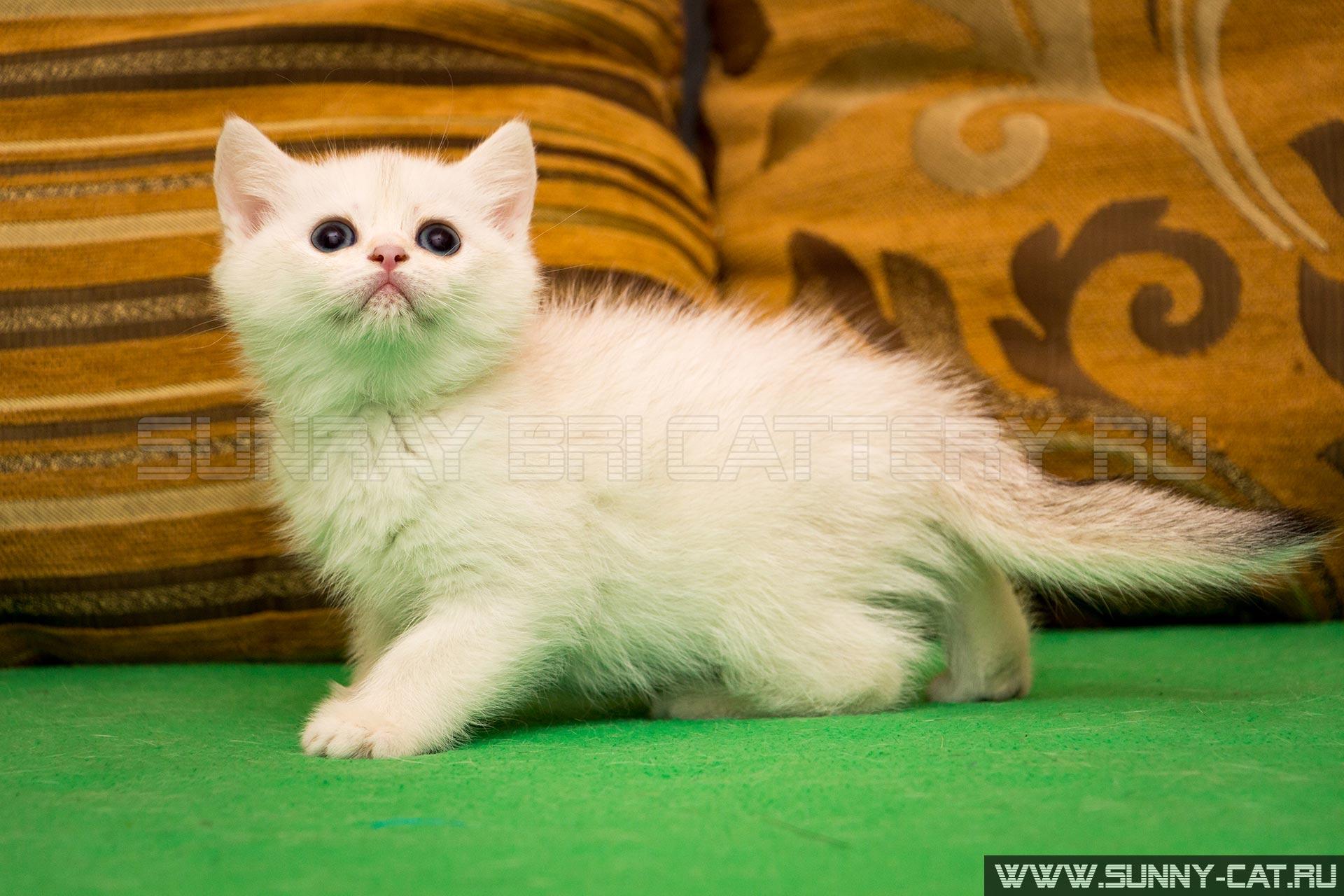 Клуб британских кошек валенсия путилин