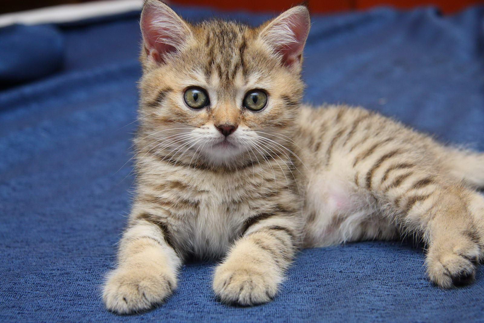 Межпородная вязка шотландской и британской пород кошек ...