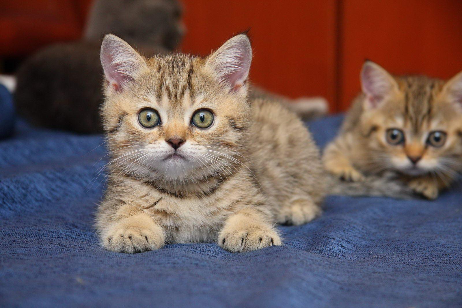 Британская кошка.Фотографии породы кошек Британская кошка ...