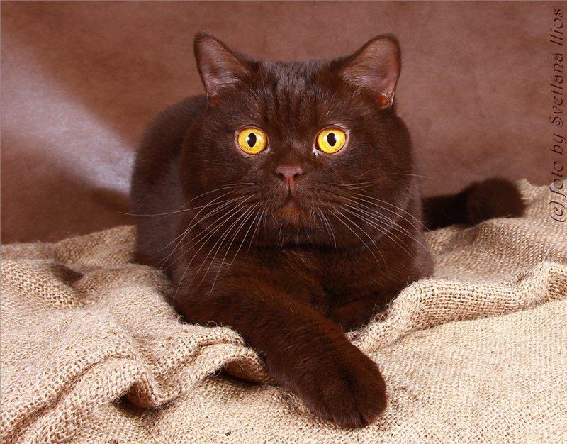 кошки шоколадные фото