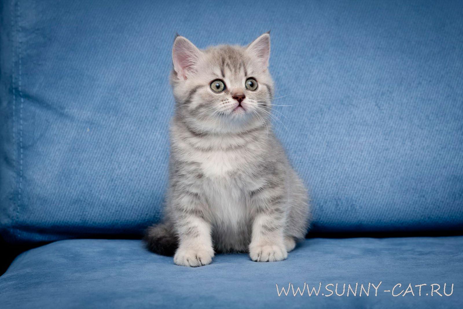 Фото голубого кота британца