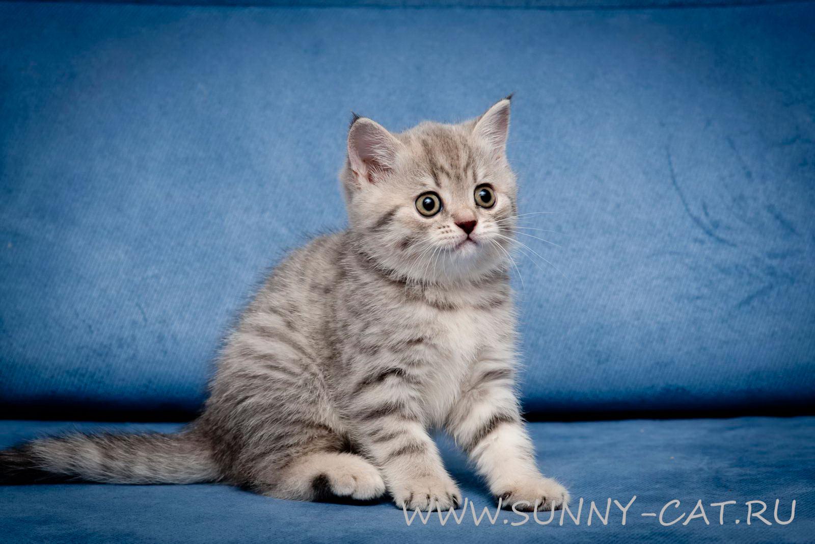 Табби тэбби окрас британской кошки  Окрасы Британцев