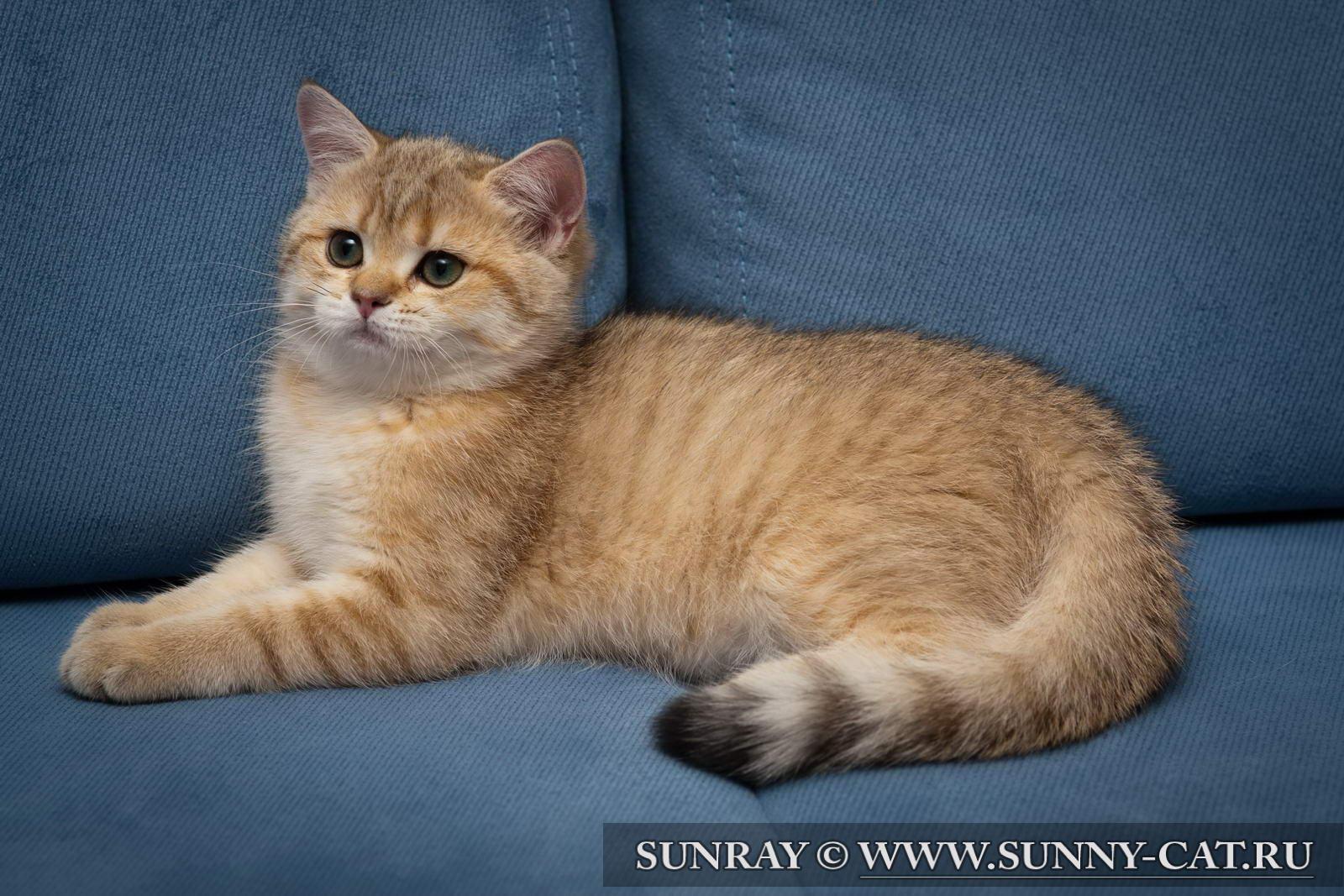 Фото британский котенок wlasta sunray