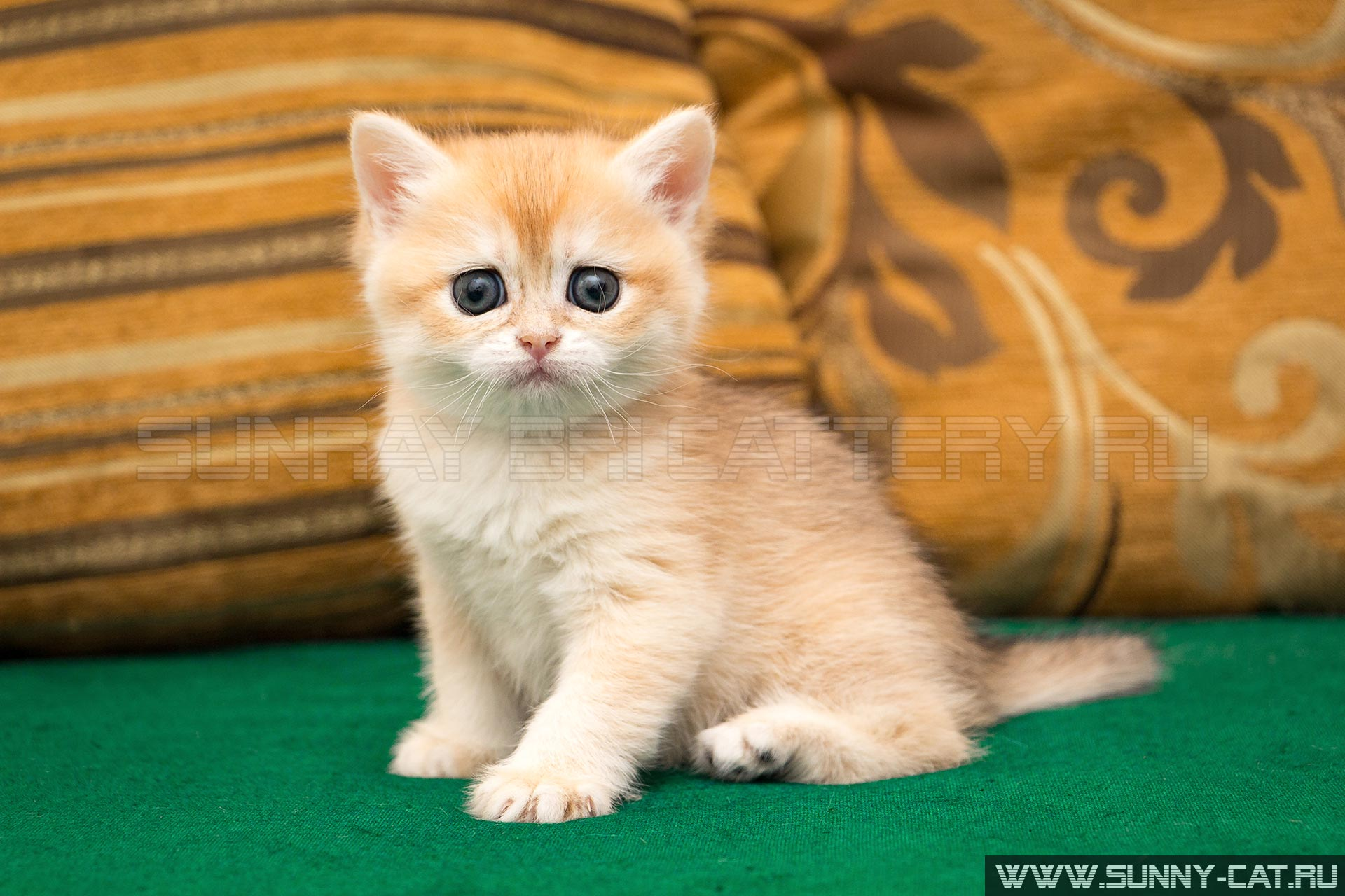 Funny names for tender white british longhair (BLH) female cats