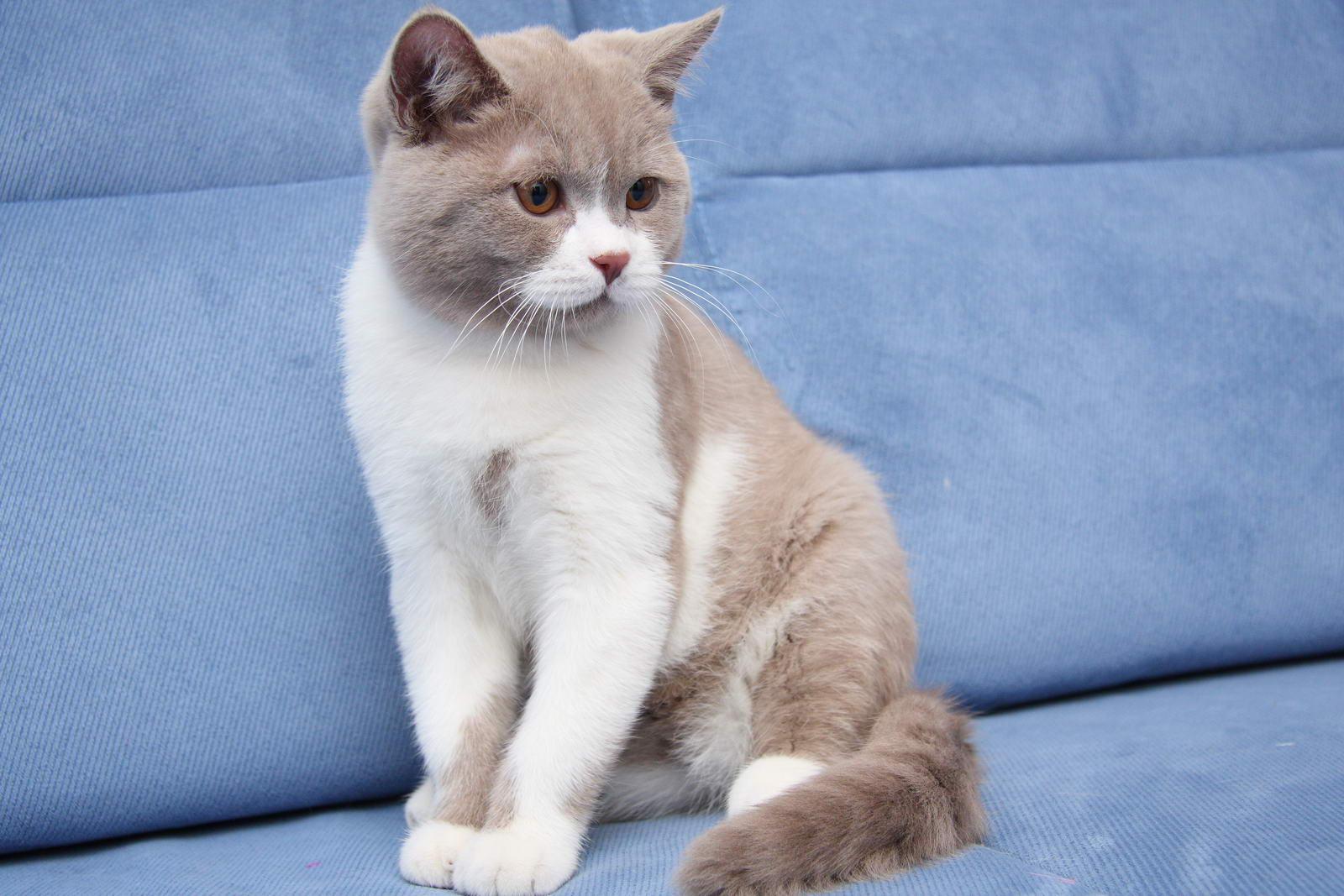 Британские котята растут, фото