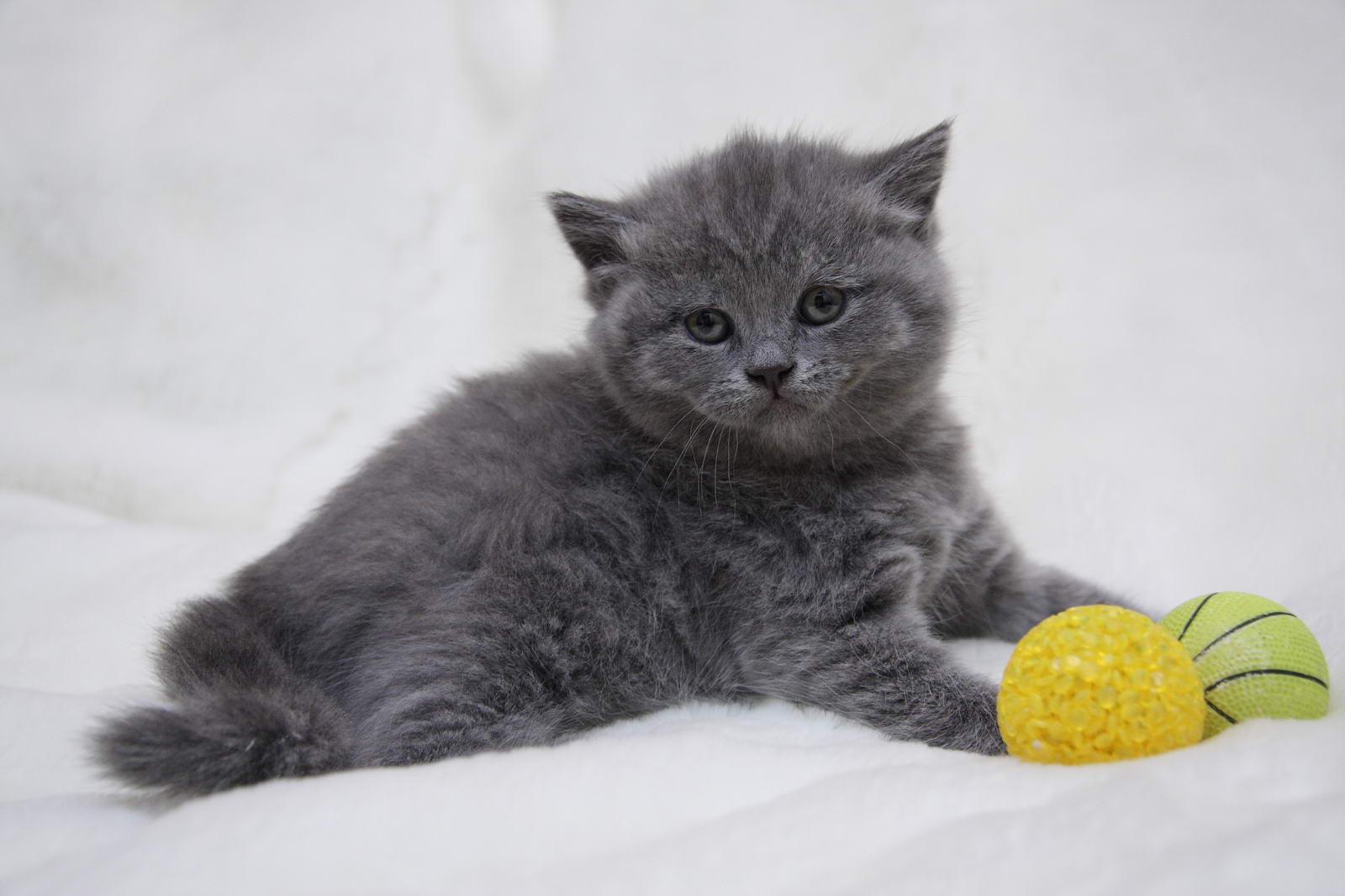 Британские кошки и котята в Екатеринбурге . Фото и цены ...