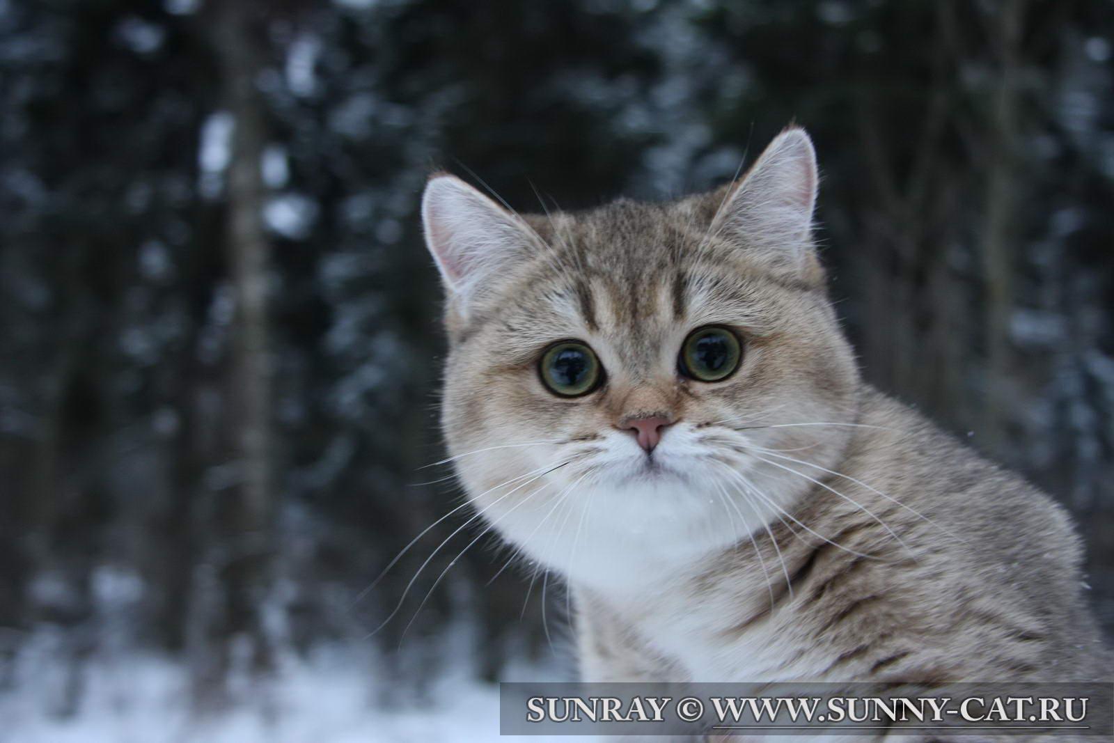 Белый окрас британской кошки - Предполагает чисто-белый цвет. .