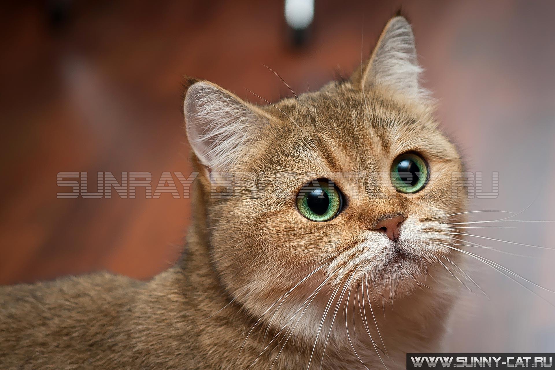 Золотая кошка