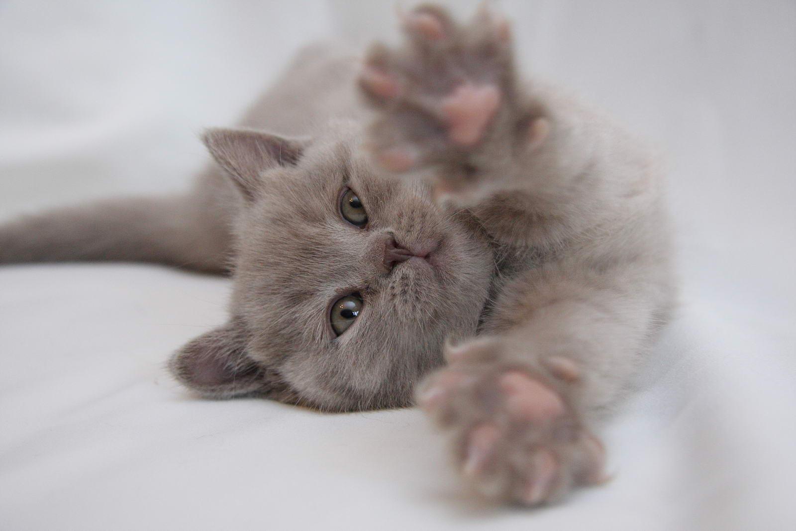 Британец лиловый коты фото