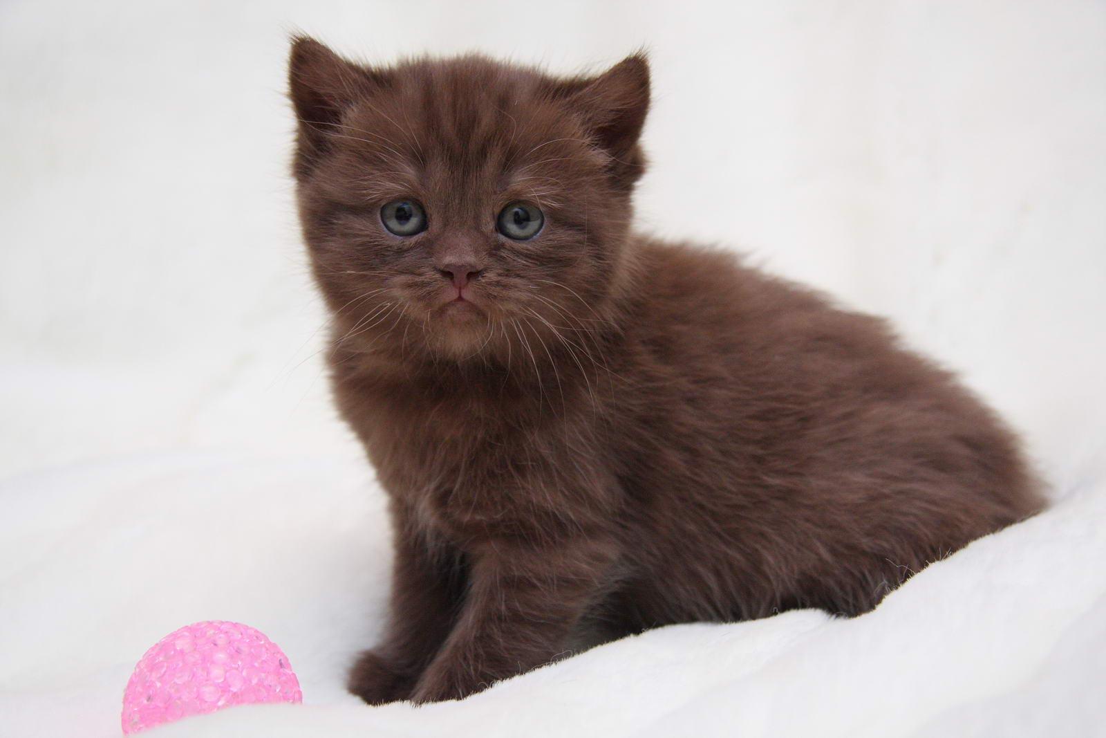 Шотландский кот пермь