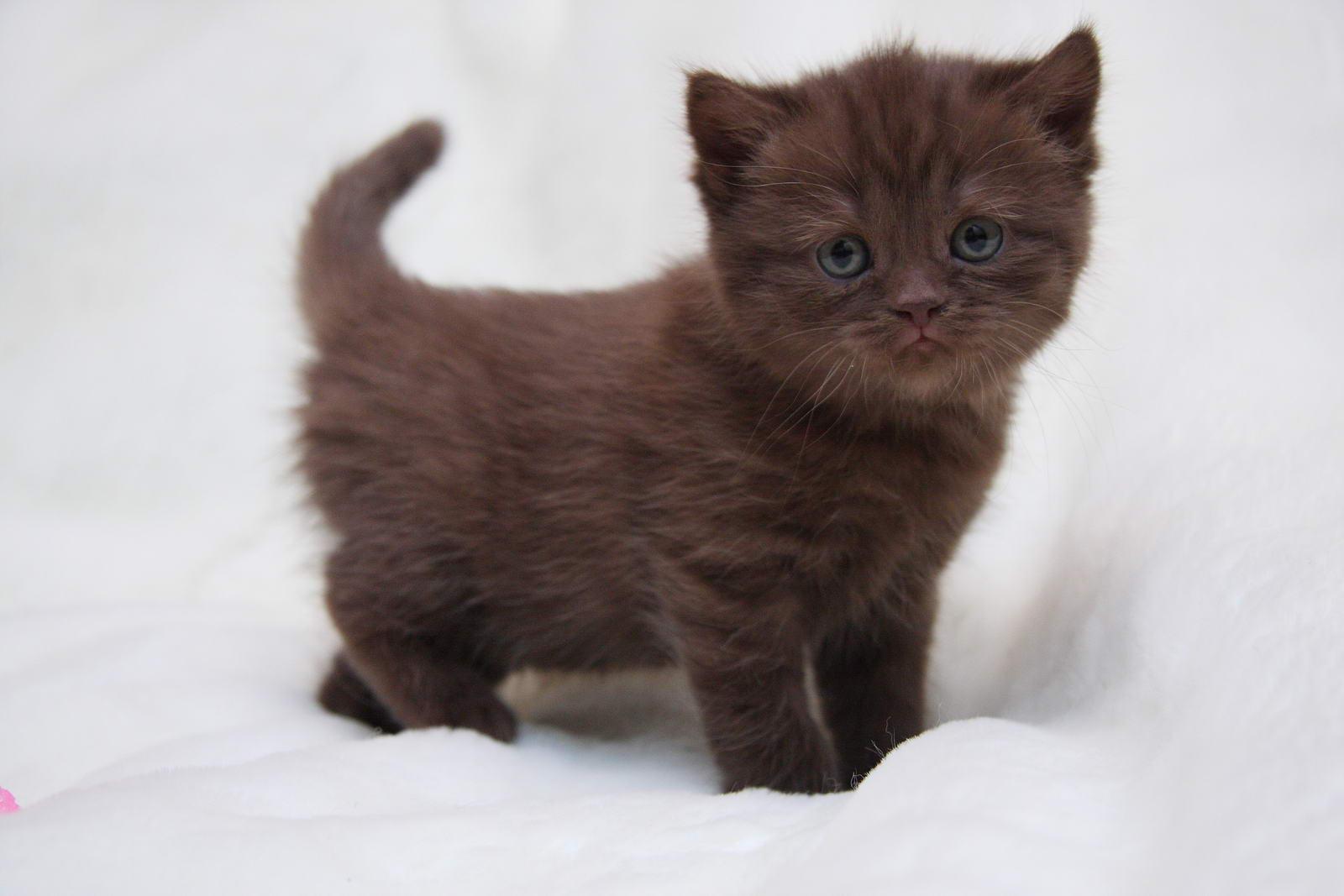 британский кот фото шоколадный