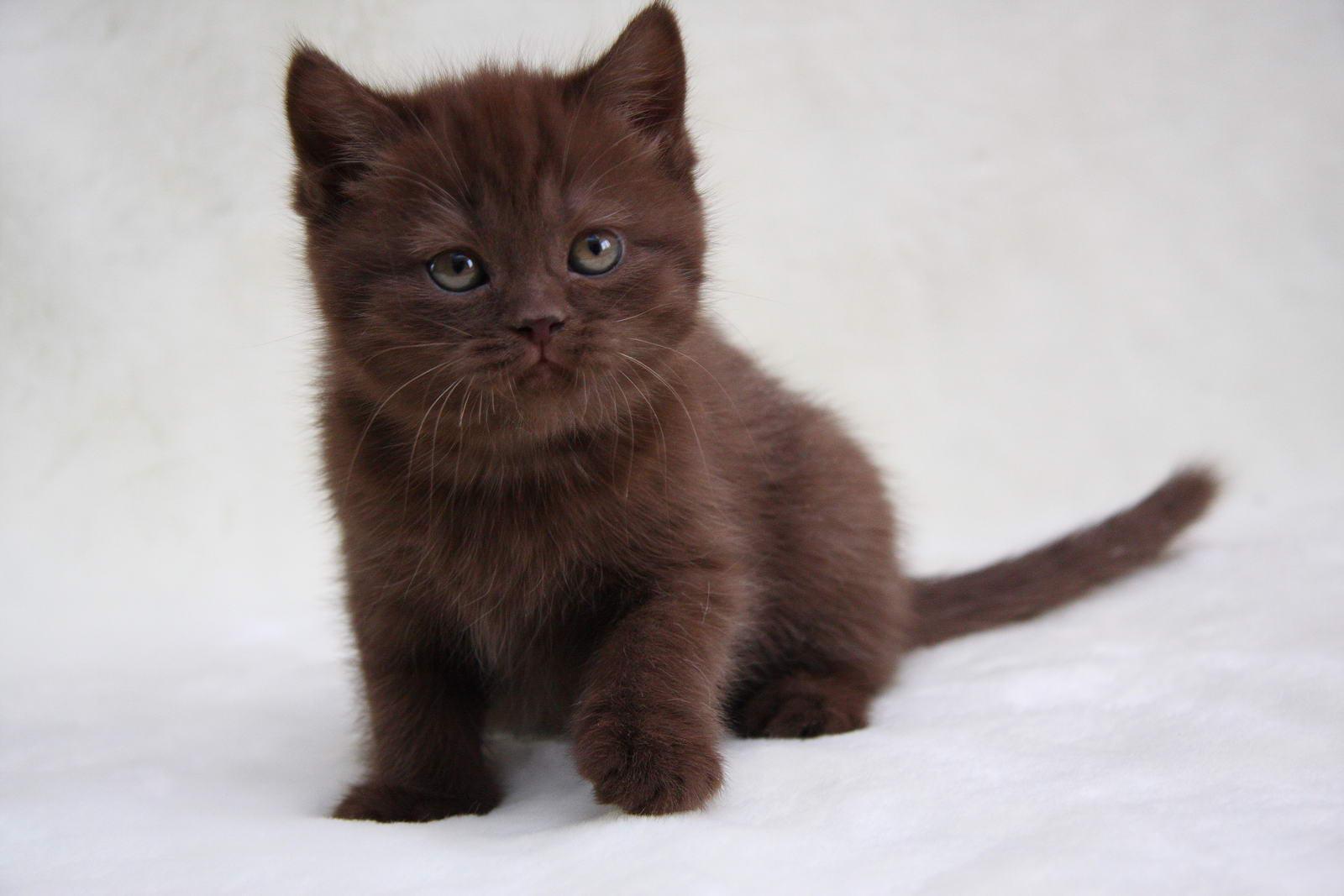 Фото британский котенок osiria lovely sunray